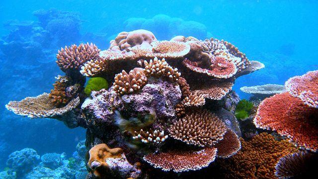 Coraux - Coral