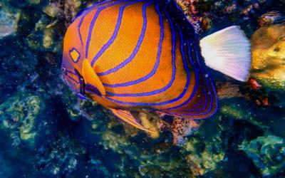 The Bluering Angelfish