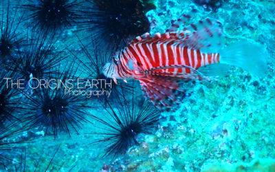 Lion fish, an invasive species