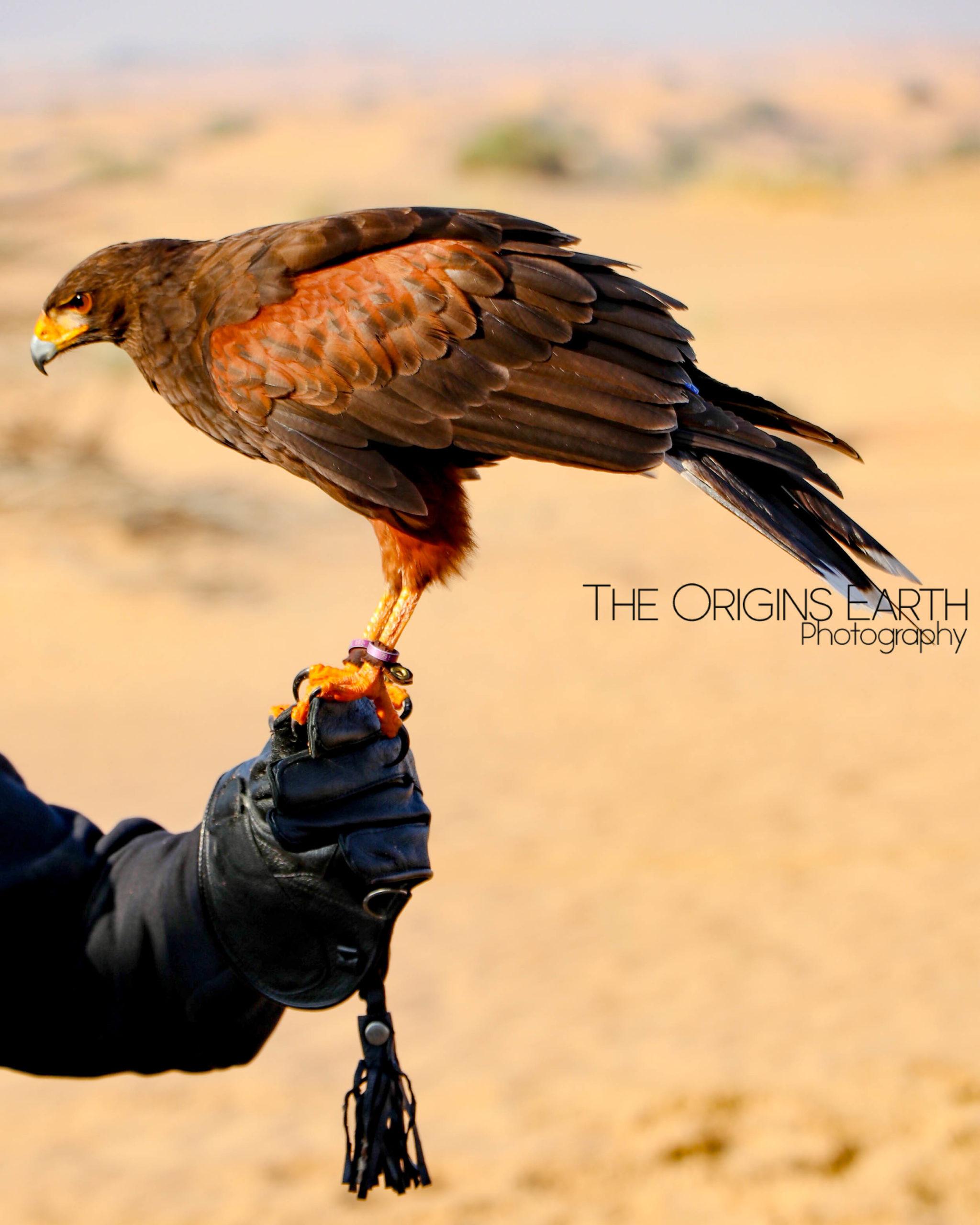 falcons of the desert UAE