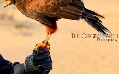 Les faucons du désert des Emirats Arabes Unis